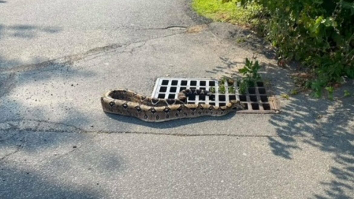 Large snake rescued after slithering into New York storm drain