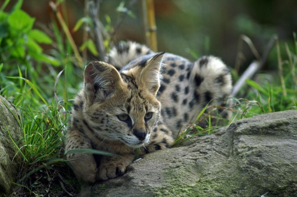 Two African servals escape from pet store owner's barn in Alabama