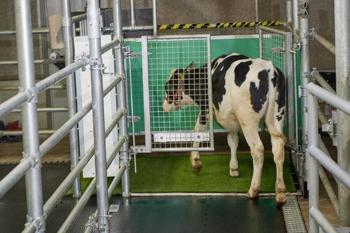 Researchers potty-train cows to reduce ammonia emissions